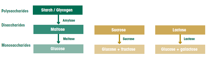 Carbohydrate Digestion And Absorption The Canadian Sugar Institute