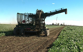 Sugar beets being harvested in the field