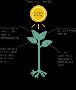 Les plantes vertes produisent des sucres par photosynthèse